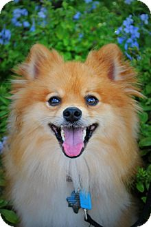 Pomeranian Dog for adoption in conroe, Texas - Tugg