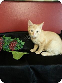Domestic Shorthair Kitten for adoption in Clearfield, Utah - Ryder