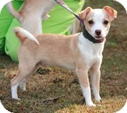Chihuahua Mix Puppy for adoption in Windham, New Hampshire - Luigi