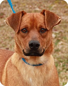 Shepherd (Unknown Type)/Labrador Retriever Mix Dog for adoption in Hagerstown, Maryland - Valentio Great with kids ($300