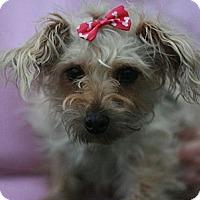 Adopt A Pet :: Ginger -Yorkiepoo! - Canoga Park, CA