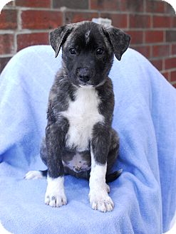 Akita/Shepherd (Unknown Type) Mix Puppy for adoption in Detroit, Michigan - Carson-Pending!