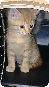 Domestic Shorthair Kitten for adoption in Grasonville, Maryland - Orange Baby Boys