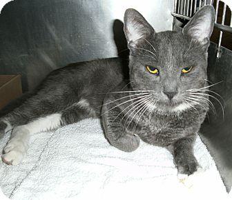 Domestic Shorthair Cat for adoption in El Cajon, California - Smokey