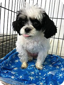 Shih Tzu Dog for adoption in Detroit Lakes, Minnesota - Molly