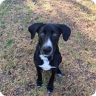 Labrador Retriever Mix Dog for adoption in Lewisville, Indiana - Mikey
