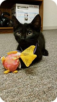 Domestic Shorthair Kitten for adoption in Carlisle, Pennsylvania - Kyrie