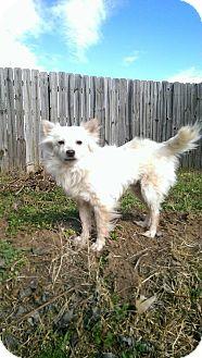 Pomeranian Mix Dog for adoption in Warner Robins, Georgia - Allan