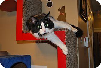 Domestic Longhair Cat for adoption in Hanover, Ontario - Merlin