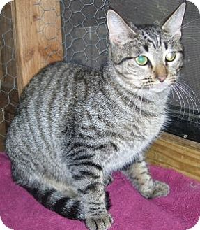 Egyptian Mau Cat for adoption in Grand Saline, Texas - Mitzy