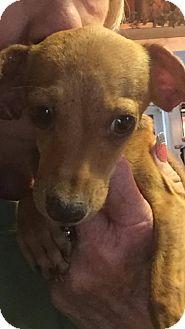 Dachshund Mix Puppy for adoption in Austin, Texas - Indy