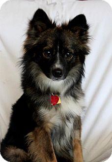 Sheltie, Shetland Sheepdog Mix Dog for adoption in Wichita, Kansas - Ryder