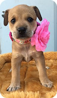Boxer/German Shepherd Dog Mix Puppy for adoption in Montclair, California - Christie