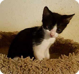 American Shorthair Kitten for adoption in Houston, Texas - Moe
