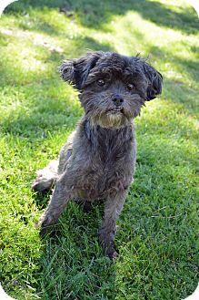Brussels Griffon/Shih Tzu Mix Dog for adoption in Mountain Center, California - Zinnia