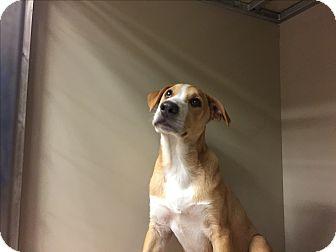 Labrador Retriever/Australian Cattle Dog Mix Puppy for adoption in Snyder, Texas - Cheech