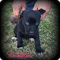 Adopt A Pet :: Cuddles - Denver, NC