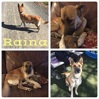 German Shepherd Dog Dog for adoption in Martinez, California - Raina