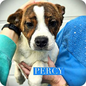 Pug/Pit Bull Terrier Mix Puppy for adoption in Winchester, Virginia - Percy *application pending*