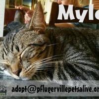 Adopt A Pet :: Myles - Pflugerville, TX