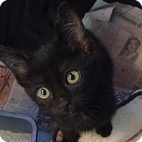 Domestic Shorthair Kitten for adoption in San Ramon, California - NayNay