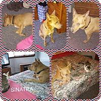 Adopt A Pet :: Sinatra - Elizabeth, NJ