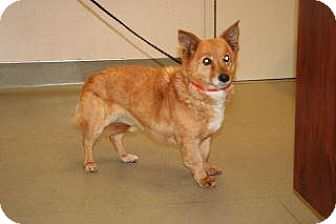 Corgi Mix Dog for adoption in Wildomar, California - Carly