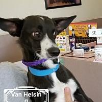 Adopt A Pet :: Van Helsing - Las Vegas, NV