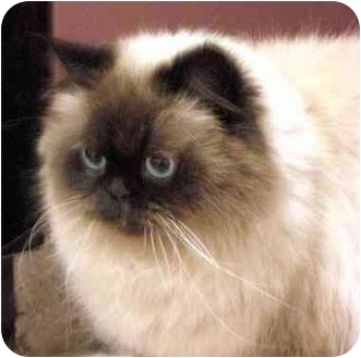 Himalayan Cat for adoption in San Clemente, California - CAMMI = Declawed Lap Lover