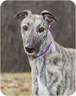 Greyhound Dog for adoption in Ware, Massachusetts - Tully