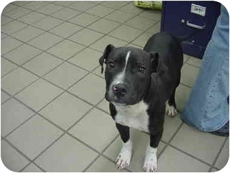 Pit Bull Terrier Mix Puppy for adoption in Marshalltown, Iowa - Rocky