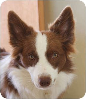 Border Collie Dog for adoption in Glenrock, Wyoming - Cooper