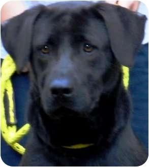 Labrador Retriever Dog for adoption in Wakefield, Rhode Island - CASSIE(ALL AMERICAN LAB!!)