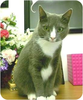 Domestic Shorthair Cat for adoption in Chesapeake, Virginia - Electra
