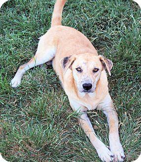 Labrador Retriever/Catahoula Leopard Dog Mix Dog for adoption in Waller, Texas - Haley