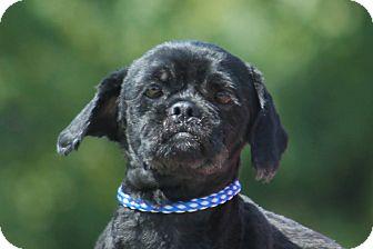 Shih Tzu Mix Dog for adoption in McKinney, Texas - Billings