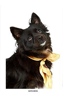 Corgi Mix Dog for adoption in New York, New York - Santa Maria