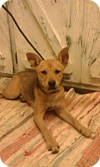 Rat Terrier Mix Puppy for adoption in Plainfield, Connecticut - Tinkerbell