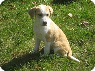 Great Pyrenees/Labrador Retriever Mix Puppy for adoption in West Milford, New Jersey - POPPY - HOLD