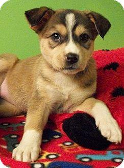 Husky/German Shepherd Dog Mix Puppy for adoption in Struthers, Ohio - Wednesday