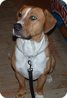 Boxer/Hound (Unknown Type) Mix Dog for adoption in Huntsville, Ontario - Milo - Adoption Pending