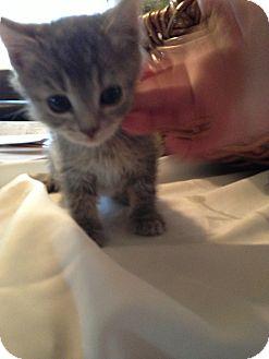 Domestic Shorthair Kitten for adoption in Fountain Hills, Arizona - NINA