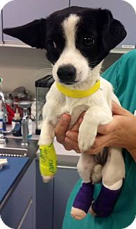 Border Collie Mix Puppy for adoption in Los Angeles, California - PIPPI LONGSTOCKING