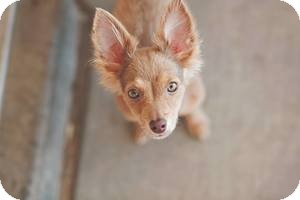 Chihuahua Mix Puppy for adoption in Las Vegas, Nevada - Ivy