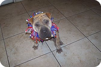 Shar Pei Dog for adoption in Mira Loma, California - Allizae