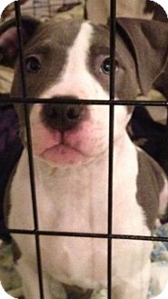 Pit Bull Terrier Mix Puppy for adoption in Pittsburgh, Pennsylvania - Puppy