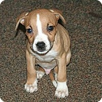 Adopt A Pet :: Tanner - Westfield, IN