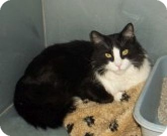 Domestic Longhair Cat for adoption in Silver City, New Mexico - Tiny