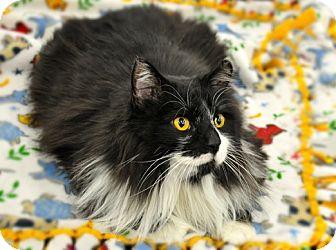Domestic Longhair Cat for adoption in Great Falls, Montana - Bear Bear