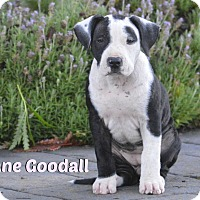 Adopt A Pet :: Jane Goodall - Los Angeles, CA